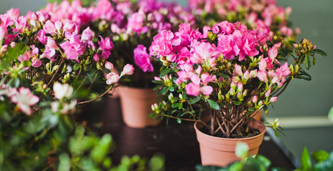Горшечные растения и срезка от салона цветов «Любушка»